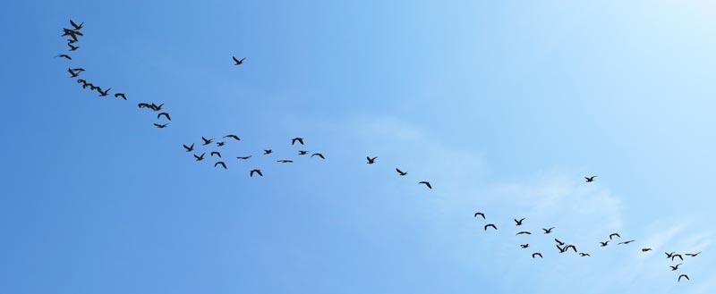 Vogelschwarm im Formationsflug am Himmel